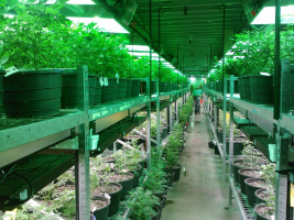 Non-Medicinal Cannabis